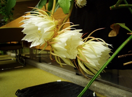 One of more than 2,000 plants in Western Illinois University's Leslie F. Malpass Library, the Queen of the Night, or the Epiphyllum oxypetalum, rarely blooms—sometimes only once a year. This photo was taken August 22, after the plant started opening after 8 p.m. Photo by Linda Zellmer