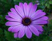 Photo of a purple flower with a green leafy background.