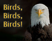 Photo of a bald eagle and the text Birds, Birds, Birds!